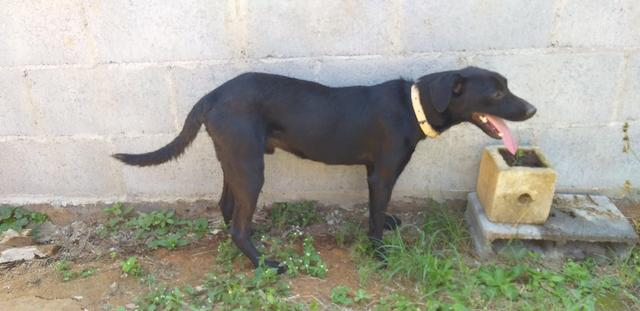 Adoção Responsável - Duque (1 ano e mestiço de labrador) - Foto 4