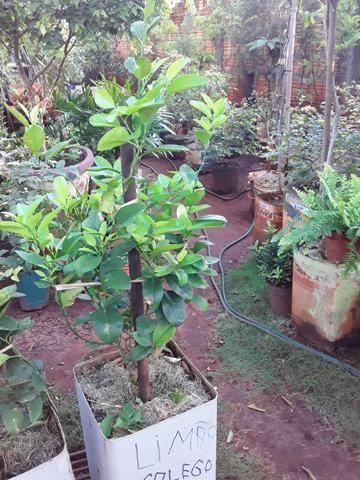 Vendas de mudas e plantas para jardim e chacaras - Foto 6