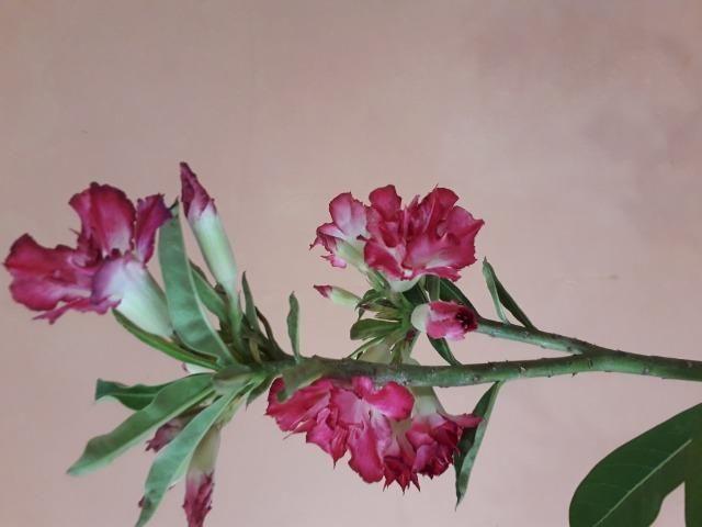 Rosa do deserto - Foto 5
