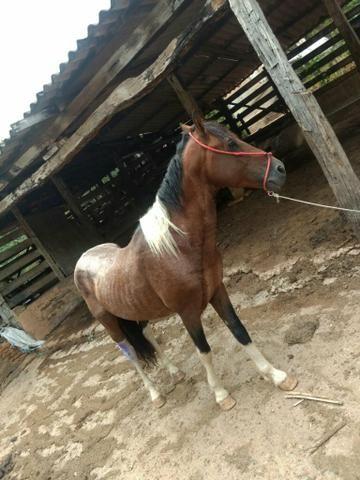 Cavalo pampa - Foto 4