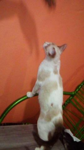 Gatinha p/ adoção - Foto 5