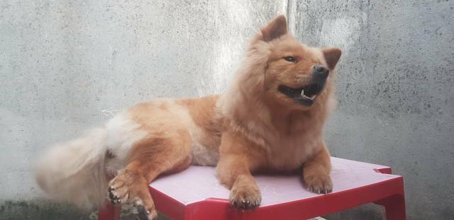 Chow chow femea procura um namorado - Foto 5