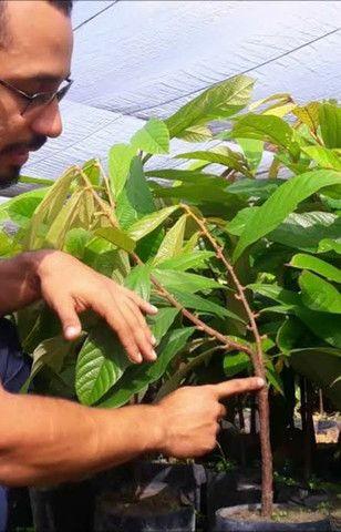 Últimas unidades de abacate enxertado - Foto 3