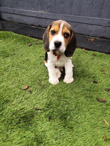 Beagle filhotinhos a pronta entrega! - Foto 6