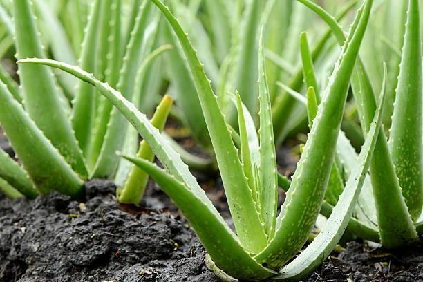 Mudas de Babosa Aloe Vera - Foto 4