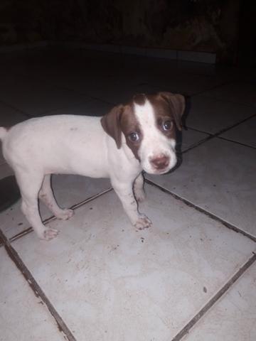 Vendo essa linda pitbull ela tem 2 meses já interessados chama no zap ou ligar * - Foto 2