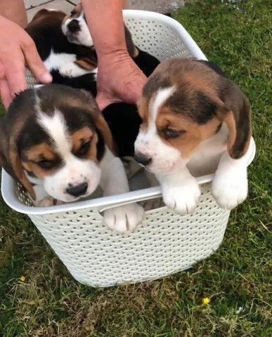 Beagle filhotinhos a pronta entrega! - Foto 4
