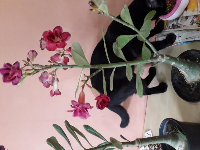 Rosa do deserto - Foto 6