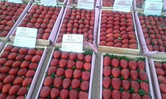 VENDO mudas de morangos importados