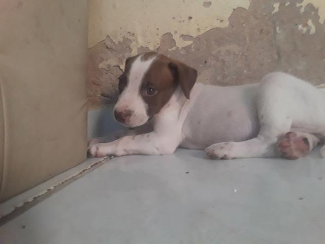Vendo essa linda pitbull ela tem 2 meses já interessados chama no zap ou ligar * - Foto 6