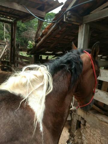 Cavalo pampa - Foto 3