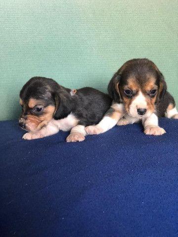 Beagle filhotes lindos pronta entrega!!!  - Foto 2