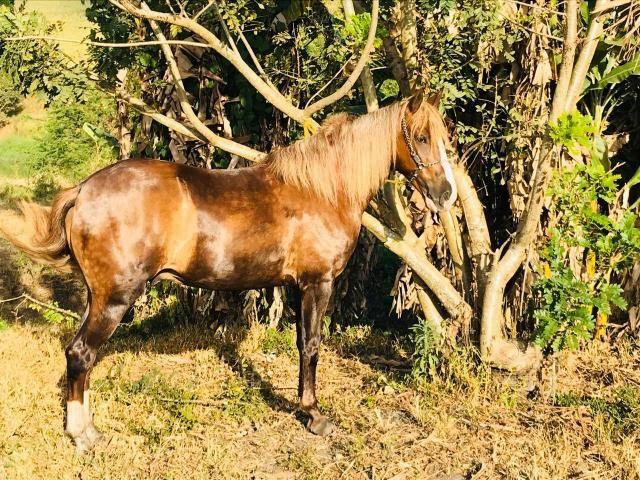 Cavalo alazão - Foto 5