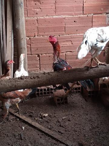 Vendo galos e galinhas de raça 250 cada ou comprado acima de 5 Faso por 150 cada - Foto 4