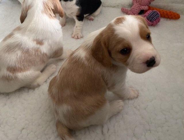 Beagle filhotes com pedigree e garantias  - Foto 2