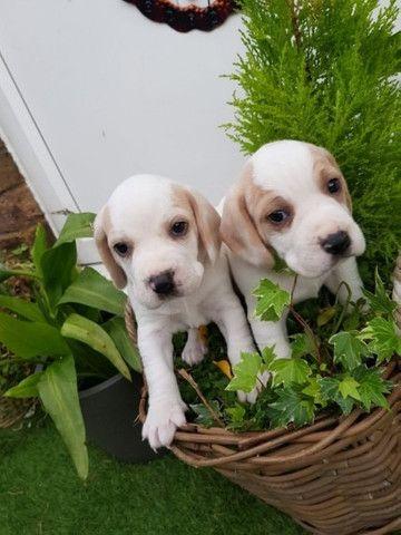 Beagle filhotes com pedigree e garantias  - Foto 4