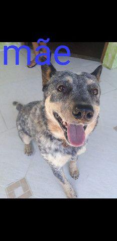 Cachorro blue heeler