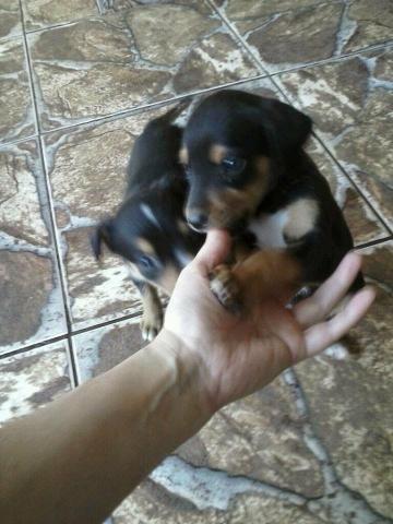 Rottweiler x labrador só 100 - Foto 3