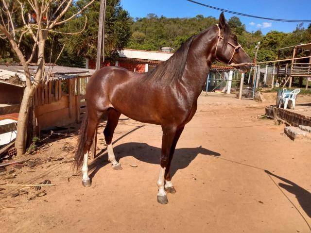 Cavalo Mangalarga Paulista - Foto 2