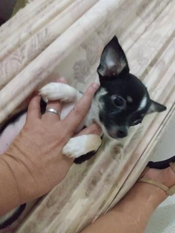 Chihuahua fêmea 1.500 3× sem juros - Foto 2