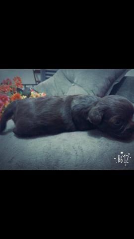 Vendo Shitzu Femia - Foto 4