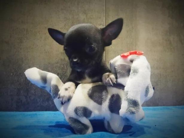 Chihuahua o menor cão do mundo! (11) 3862-3206 whats comercial