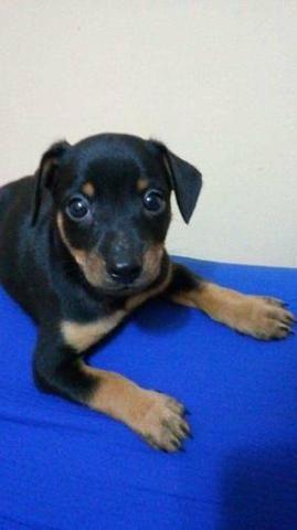Rottweiler x labrador só 100 - Foto 4