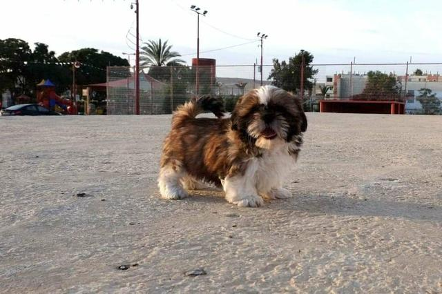 Shih tzu canil ps, com pedigre e garantia genética