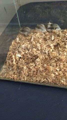 Vendo filhote de hamster - Foto 2