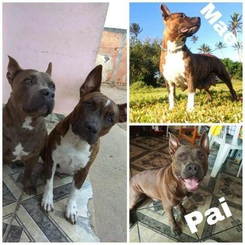 Filhotes Pitbull American staffordshire ( 3 Femeas Disponiveis) - Foto 4
