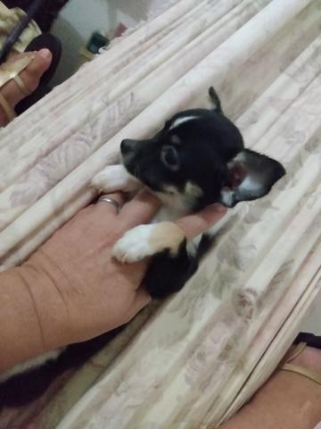 Chihuahua fêmea 1.500 3× sem juros