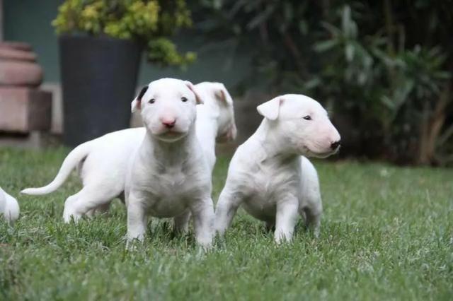 Bull Terrier Inglês, somos a unica rede com clinicas veterinarias, what's (11) 3862-3206 - Foto 3