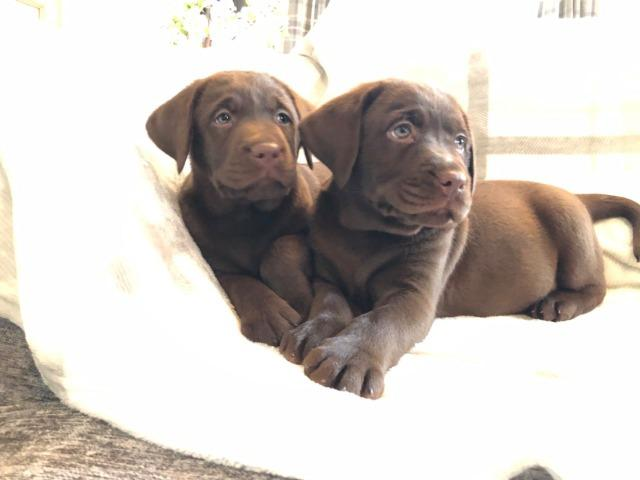 Labrador filhotes maravilhoso, *