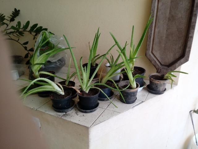 Mudas de Babosa Real- Aloe Vera R$ 100 OBS:(Já com a entrega!) - Foto 2