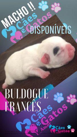 Buldogue francês disponível - Foto 3