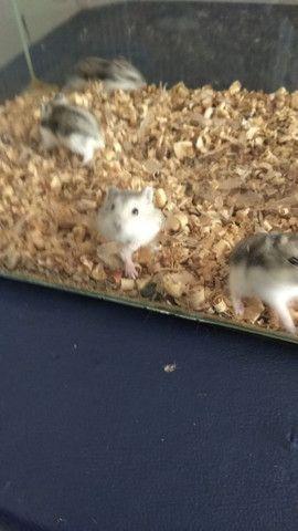 Vendo filhote de hamster - Foto 3