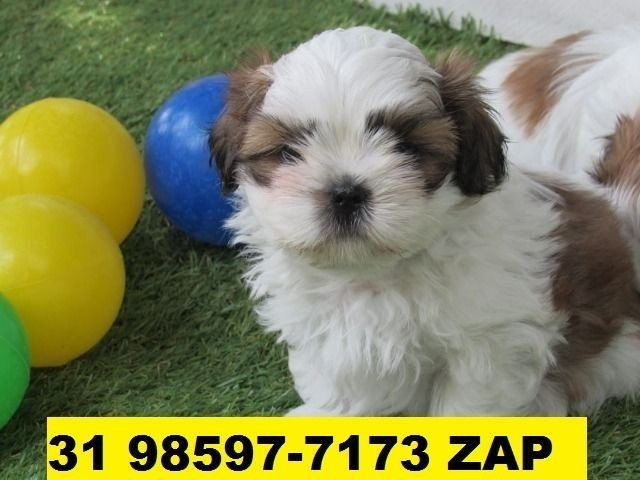 Canil em BH Filhotes Cães Shihtzu Beagle Lhasa Maltês Yorkshire Poodle Pug