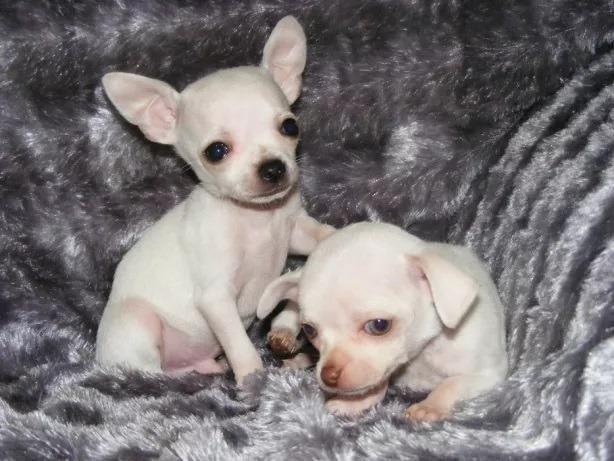 Chihuahua o menor cão do mundo! (11) 3862-3206 whats comercial - Foto 3