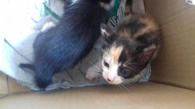 Doacao de gatos mestiços de olhos azuis - Foto 5