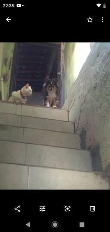 Chihuahua fêmea 1.500 3× sem juros - Foto 5