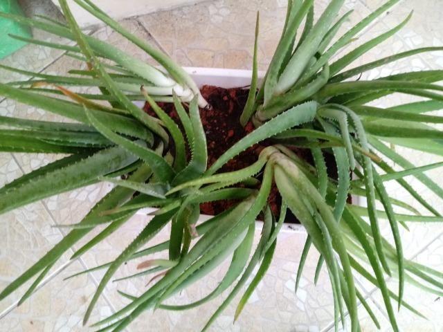 Mudas de Babosa Real- Aloe Vera R$ 100 OBS:(Já com a entrega!) - Foto 4