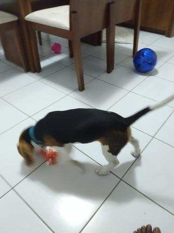 Beagle - Foto 4