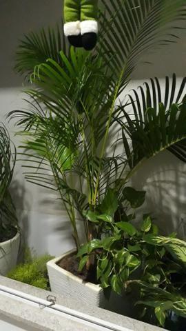 Coqueiro com vaso - Foto 2