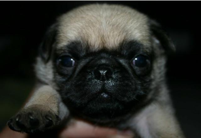 Filhotes de Pug - Foto 5