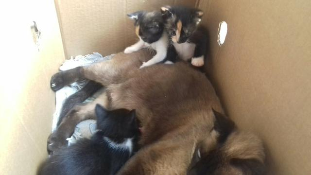 Doacao de gatos mestiços de olhos azuis - Foto 6