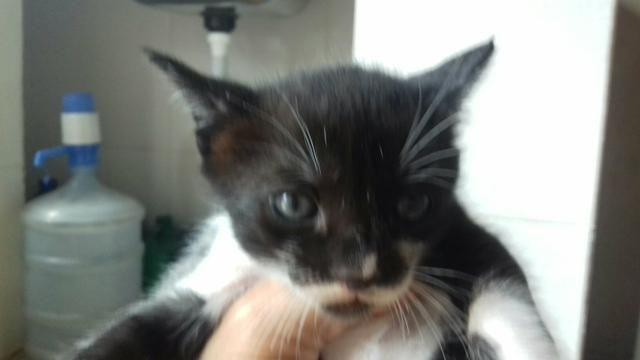 Doacao de gatos mestiços de olhos azuis - Foto 2