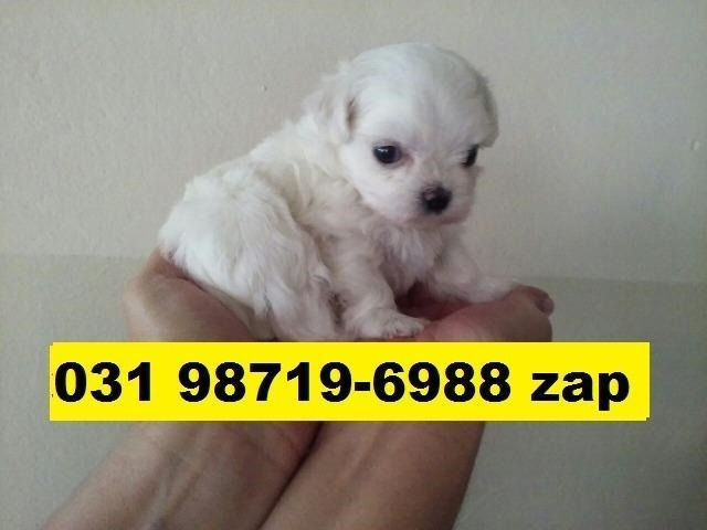 Canil Profissional Filhotes Cães BH Maltês Shihtzu Lhasa Yorkshire Poodle Beagle Basset