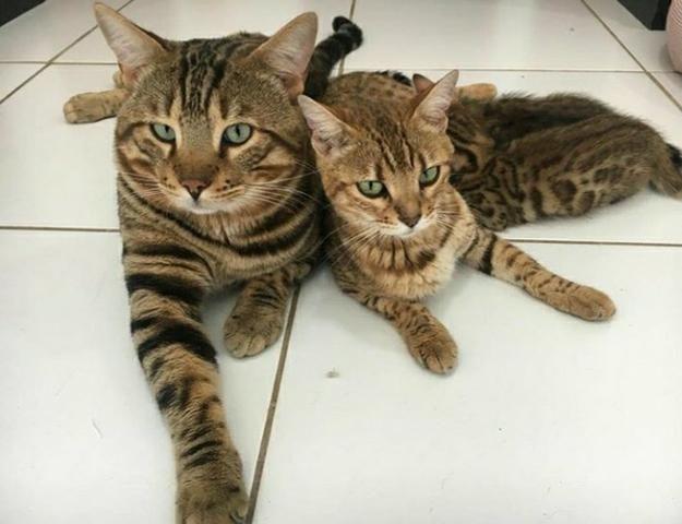 Mini onças, vendo filhote de Bengal o gato de bengala - Foto 4