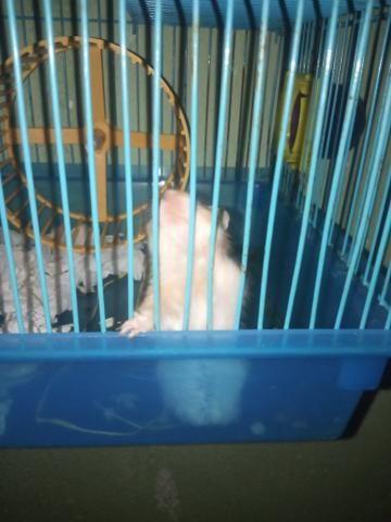 Doação de hamster - Foto 3
