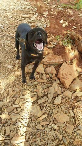Vende-se um cachorro Pit Bull - Foto 3